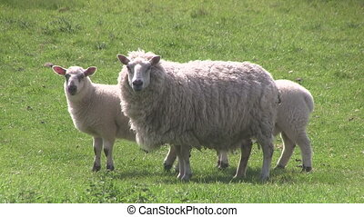 Ewe and two lambs grazing in a fiel