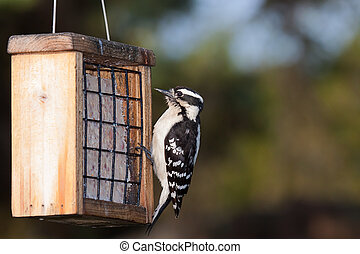 Woodpecker and Suet - a downy woodpecker hangs from the cage...