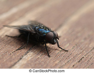 Blue blow-fly closeup macro - Common blue blow-fly insect...