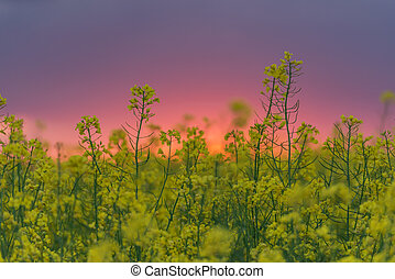 rape - yellow rape field and sunset