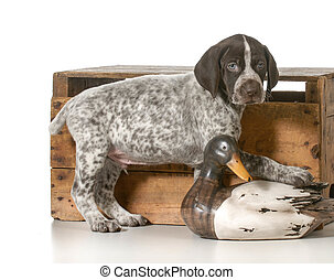 hunting dog - german shorthaired pointer hunting dog on...