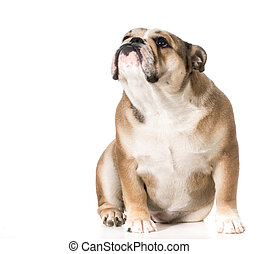 dog looking up - english bulldog 8 months old