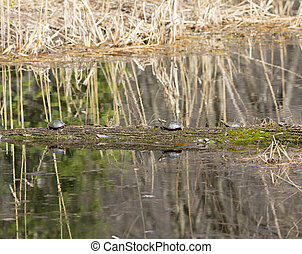 turtles sunbathing - three turtles sunbathing on a log in a...