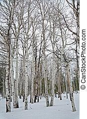 Aspen trees - Bare aspen trees in winter near Flagstaff,...