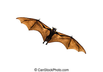 Flying fox on white background.