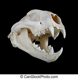 Cougar Skull - Portrait of a Cougar Skull.