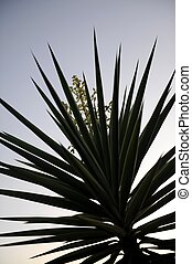Yucca Plant - A close up shot of a Yucca plant silhouette