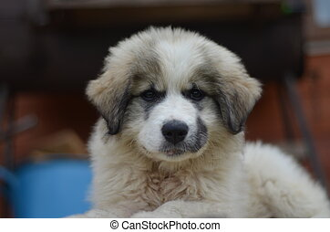 Great Pyrenees en ingl - The Pyrenean Mountain Dog, known as...