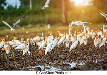 Eastern cattle egret in breeding plumage walking along a...