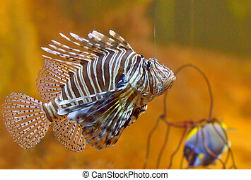 Lion-fish - lion-fish Pterois volitans aquarium fish