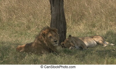 Lion and Lioness( Panthera leo) courtship under a tree.