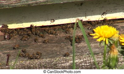 bee on wooden old beehive in spring time