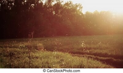 Cottonwood fluff is flying on sunset background. FullHD...