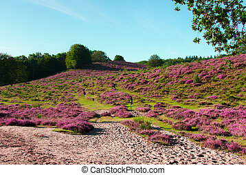 Varied landscape - The Posbank is a particularly heathland...