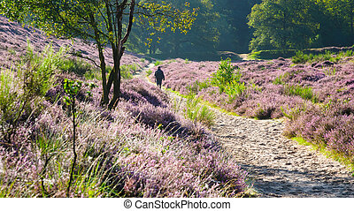 Godenmorgen - Walking in a flowering heathland