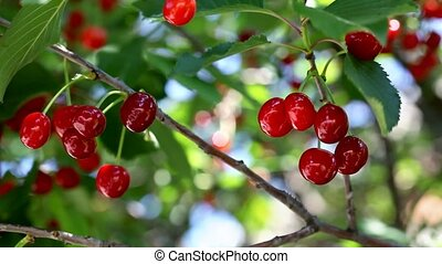 Agriculture, cherry fruit tree
