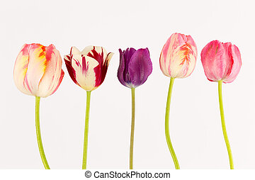 five colorful tulips on a green stem and white background