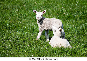 Two Lambs in the fields. Yorkshire, England.