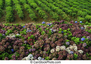 Hortensia typical flower of azores in a tea field