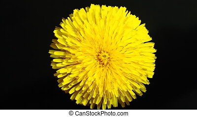 Yellow Flower - Rotation of a yellow flower on a black...