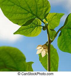 Pepper flower against the blue sky