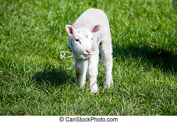 Young Lamb standing - Young Lamb, standing on the field.