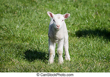 Young Lamb, watching towards camera.