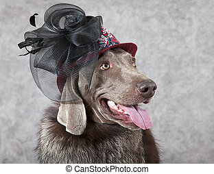 Portrait of Victorian style dog - Portrait of Weimaraner dog...