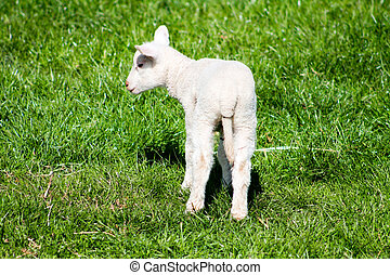Young Lamb from the back.