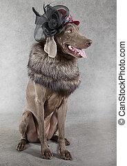 Victorian style Weimaraner dog - Image of a Weimaraner dog...