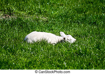 Sleeping Lamb - Young Lamb, sleeping on grass.