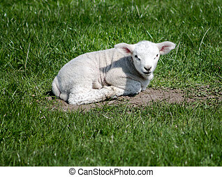 Young Lamb, resting on grass. Watching towards the camera.
