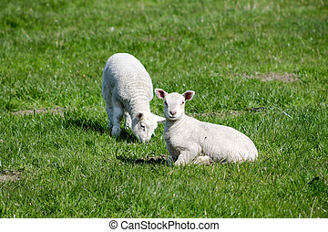 Two Lambs - Two Young Lambs on the field