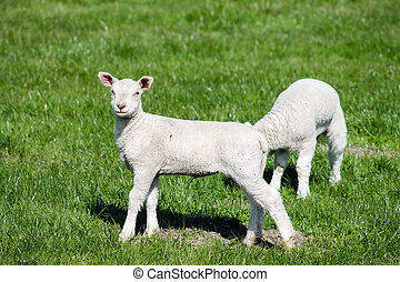 Two Lambs - Two Young Lambs on the field.