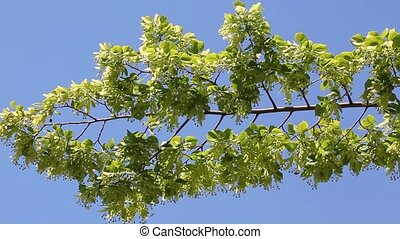 Branch of linden tree with flowers - Blooming linden tree...