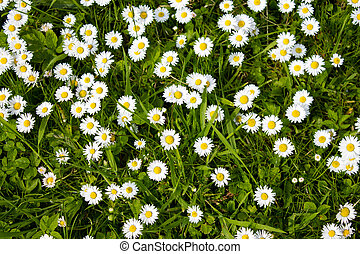 Ox-eye Daisies - Ox-eye Daisy, Leucanthemum vulgare,...