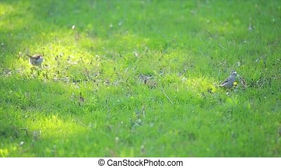 Sparrows on the lawn - A young dunnock sunbathing on an...