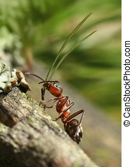 Hard-working red ant carrying tree needle uphill