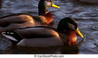 Ducks swimming on the lake - Ducks swimming on the lake in...