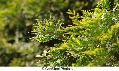 branch cupressocyparis on green background Close up