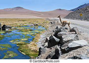 Vicuntilde;as and alpacas graze in the Atacama - The photo...