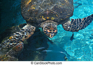 Sea Turtle surfaced water in the Caribbean Sea near...