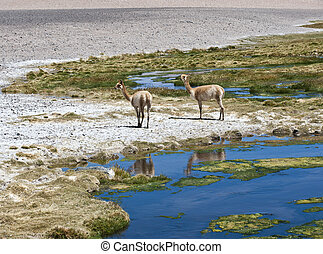 Vicuntilde;as graze in the Atacama, Chile-Argentina-Bolivia...