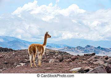 Vicuna (Vicugna vicugna) or vicugna is wild South American camelid, which live in the high alpine areas of the Andes. It is a relative of the llama. Andes of central Ecuador