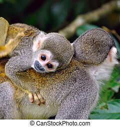 Baby Squirrel Monkey on the back of his mom in amazon...