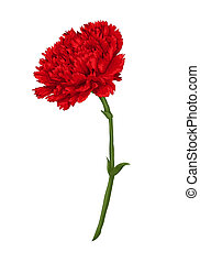 Beautiful red carnation isolated on white background....