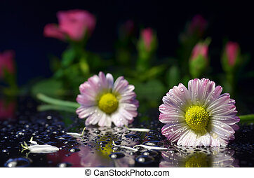 Camomiles - Two wet pink daisies lie on the mirror surface....