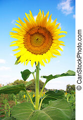 Sunflower on a background of blue sky