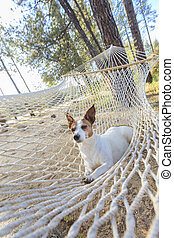 Relaxed jack Russell Terrier Relaxing in a Hammock Among the...