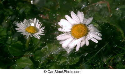 Water falling on daisys in garden in slow motion